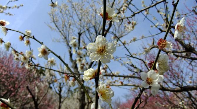 紅白の梅を眺めて、熱海来宮